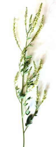 meliloto de flor blancas