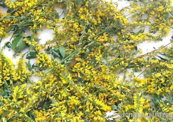 meliloto de flor amarilla