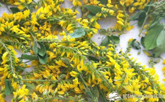 meliloto recoleccion flores comestibles
