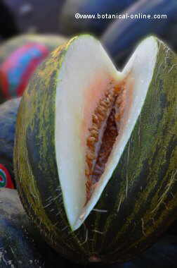 "Melon. ""toad skin"" variety"