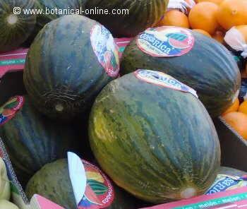 melones piel de sapo