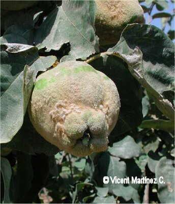citricus