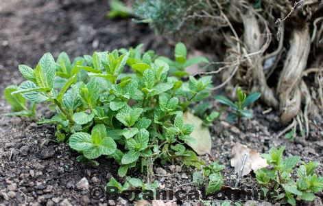 cultivo planta de menta en un huerto
