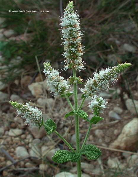 Mentha rotundifolia, aspecte general de la planta
