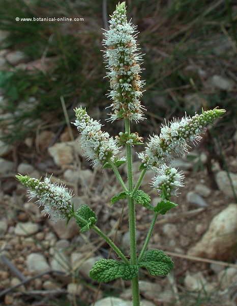 mentha-rotundifolia