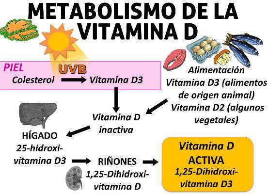 esquema metabolismo vitamina d, sintesis en la piel y activacion en el higado riñones