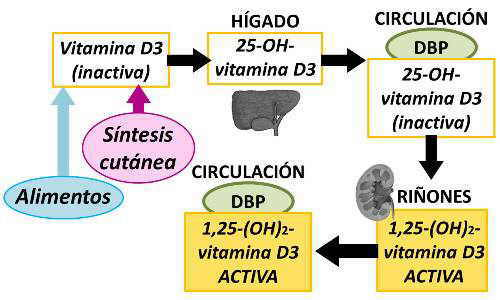metabolismo vitamina d sintesis