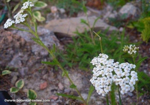 Flores de milenrama
