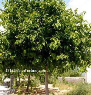 árbol moral o morera, morus nigra
