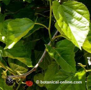 Photo of leaves and fruits of mulberry