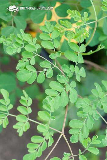 Leaves of moringa