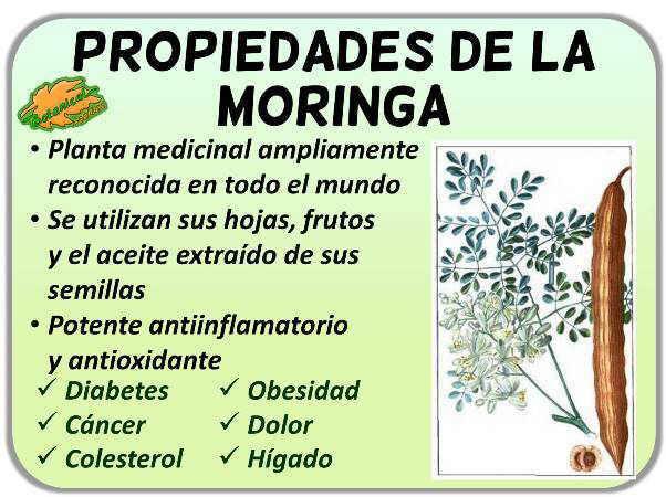 Propiedades medicinales de la moringa oleifera y sus beneficios