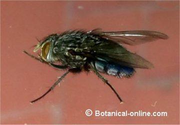 mosca azul de la carne