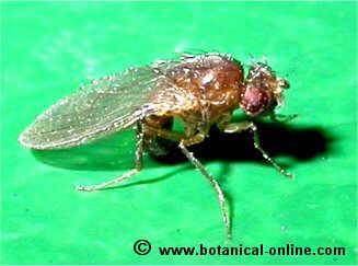 Caractersticas de la mosca del vinagre Drosophila melanogaster