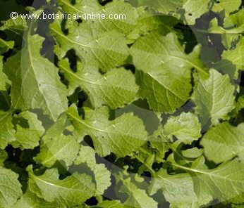 Foto de hojas de mostaza de la India