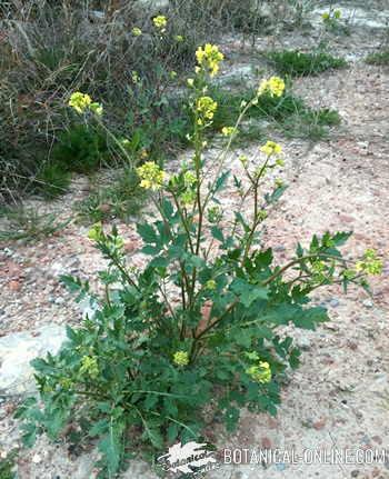planta de mostaza comestible