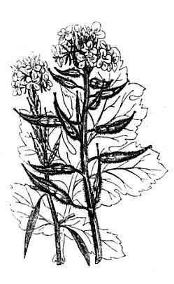 mustard brassica nigra mostaza