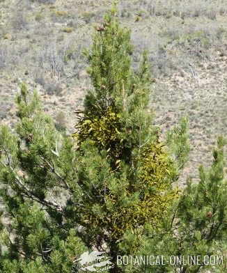 pino parasitado por un muérdago viscum