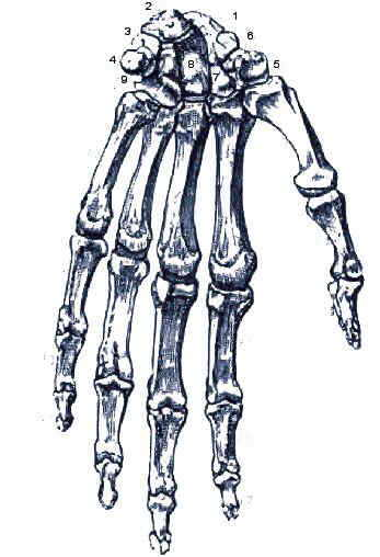 Huesos de la muñeca