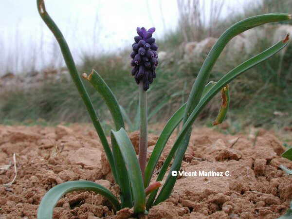 Nazareno, muscari neglectum