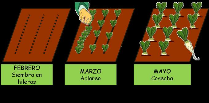 Cultivo del nabo