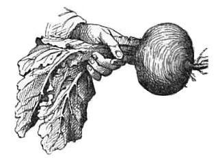 ilustración de nabo