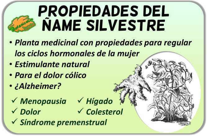 Propiedades medicinales del ñame silvestre dioscorea villosa wild yam root