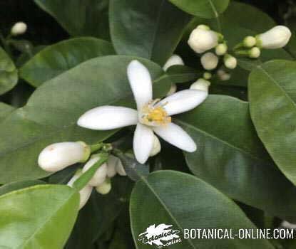 flor naranjo