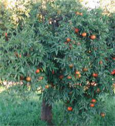 Rboles de hoja perenne for Arboles hoja perenne para jardin