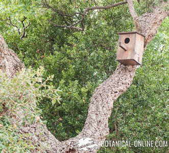 nido quercus suber