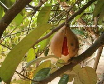 Nuez moscada en el árbol