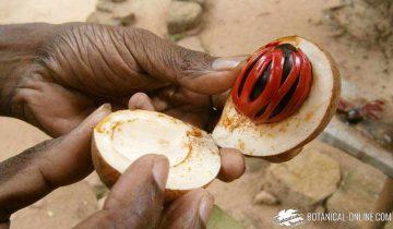 fruto de macis o javitri, fresco, el arilo rojo de la nuez moscada