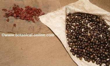 nuez moscada macis secado