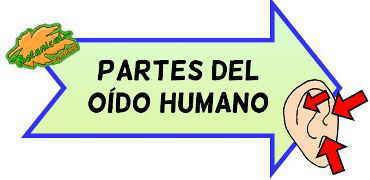 partes oido humano