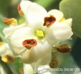 detalle flor de olivo
