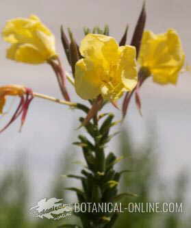 onagra planta