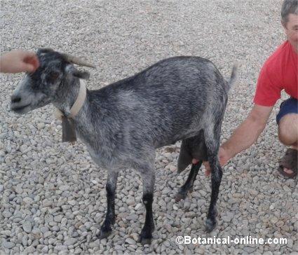 Ordeño cabra