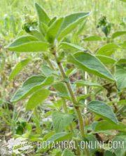 planta de oregano hojas brotes