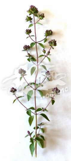orégano botanica foto hojas tallo flor