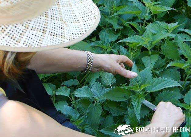 recoleccion ortigas plantas silvestres