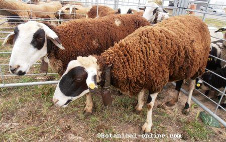 oveja montesina