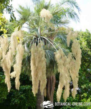 palmera en floracion