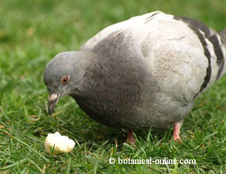 paloma comiendo