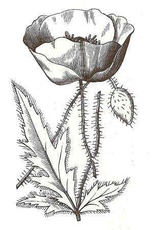 Amapola Para Colorear Flores Amapolas Para Pintar Pibook Info