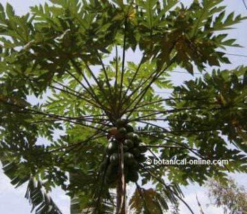 Planta de la papaya, el papayo