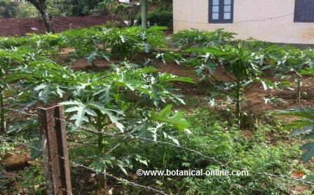 Cultivo de papayas