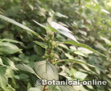 Parietaria Officinalis Hierba Del Muro