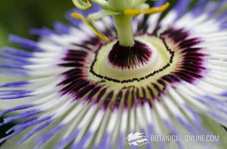 detalle flor de la pasion passionaria edulis