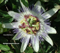 Flor de la pasion para la fibromialgia