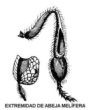 Extremidades de las abejas